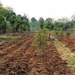 Tanah Kebun Durian 3.000 M2 di Bogor